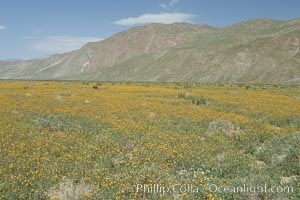 Desert sunflowers (yellow centers) and dun sunflowers (brown centers) in bloom along Henderson Canyon Road, a popular flower viewing spot in the Borrego Valley.  Heavy winter rains led to a historic springtime bloom in 2005, carpeting the entire desert in vegetation and color for months, Geraea canescens, Helianthus niveus canescens, Anza-Borrego Desert State Park, Borrego Springs, California