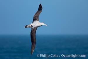 Image 24071, Wandering albatross in flight, over the open sea.  The wandering albatross has the largest wingspan of any living bird, with the wingspan between, up to 12' from wingtip to wingtip.  It can soar on the open ocean for hours at a time, riding the updrafts from individual swells, with a glide ratio of 22 units of distance for every unit of drop.  The wandering albatross can live up to 23 years.  They hunt at night on the open ocean for cephalopods, small fish, and crustaceans. The survival of the species is at risk due to mortality from long-line fishing gear. Southern Ocean, Diomedea exulans, Phillip Colla, all rights reserved worldwide. Keywords: albatross, animal, animalia, aves, bird, chordata, diomedea, diomedea exulans, diomedeidae, exulans, flight, fly, flying, oceans, portfolio, procellariiformes, sea bird, seabird, soar, south georgia island, southern ocean, vertebrata, vertebrate, wandering albatross, wildlife, wings.