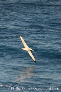 Wandering albatross in flight, over the open sea.  The wandering albatross has the largest wingspan of any living bird, with the wingspan between, up to 12' from wingtip to wingtip.  It can soar on the open ocean for hours at a time, riding the updrafts from individual swells, with a glide ratio of 22 units of distance for every unit of drop.  The wandering albatross can live up to 23 years.  They hunt at night on the open ocean for cephalopods, small fish, and crustaceans. The survival of the species is at risk due to mortality from long-line fishing gear. Southern Ocean, Diomedea exulans, natural history stock photograph, photo id 24174