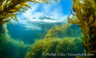 Dive boat and kelp forest. Giant kelp, the fastest growing plant on Earth, reaches from the rocky bottom to the ocean's surface like a submarine forest, Catalina Island