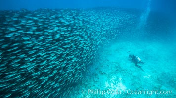 Diver and Large School of Scad, Isla Partida, Sea of Cortez. Isla Partida, Baja California, Mexico, natural history stock photograph, photo id 32588