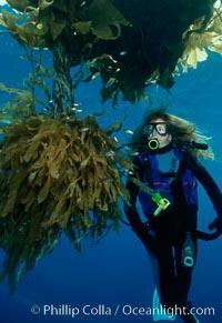 Diver and juvenile inshore fish, offshore drift kelp, San Diego, California