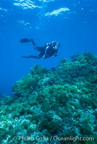 Diver, rocky reef covered with lowlying kelps, Guadalupe Island (Isla Guadalupe)
