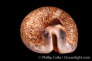 Dog-Rose Cowrie, Cypraea eglantina, natural history stock photograph, photo id 08072