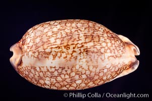 Dog-Rose Cowrie, Cypraea eglantina perconfusa