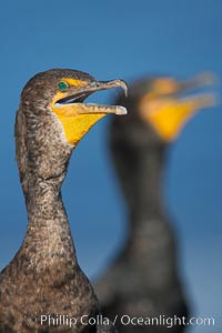 Double-crested cormorants, portrait, Phalacrocorax auritus, La Jolla, California