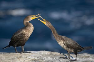 Juvenile double-crested cormorants sparring with beaks. La Jolla, California, USA, Phalacrocorax auritus, natural history stock photograph, photo id 19932