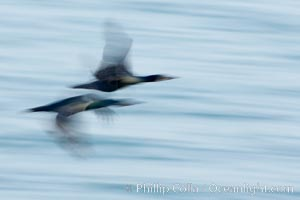 Double-crested cormorants in flight at sunrise, long exposure produces a blurred motion. La Jolla, California, USA, Phalacrocorax auritus, natural history stock photograph, photo id 15286