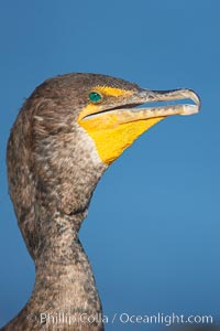 Double-crested cormorant portrait, Phalacrocorax auritus, La Jolla, California