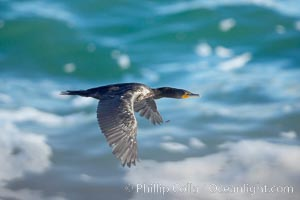 Double-crested cormorant, La Jolla cliffs, near San Diego. La Jolla, California, USA, Phalacrocorax auritus, natural history stock photograph, photo id 15087