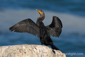Double-crested cormorant drys its wings in the sun following a morning of foraging in the ocean, La Jolla cliffs, near San Diego. La Jolla, California, USA, Phalacrocorax auritus, natural history stock photograph, photo id 15088