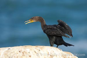 Double-crested cormorant, La Jolla cliffs, near San Diego. La Jolla, California, USA, Phalacrocorax auritus, natural history stock photograph, photo id 15096