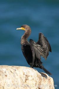 Double-crested cormorant drys its wings in the sun following a morning of foraging in the ocean, La Jolla cliffs, near San Diego. La Jolla, California, USA, Phalacrocorax auritus, natural history stock photograph, photo id 15097
