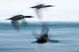 Double-crested cormorants in flight at sunrise, long exposure produces a blurred motion. La Jolla, California, USA, Phalacrocorax auritus, natural history stock photograph, photo id 15280