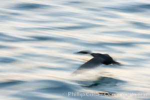 Double-crested cormorant in flight at sunrise, long exposure produces a blurred motion, Phalacrocorax auritus, La Jolla, California