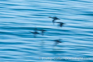 Double-crested cormorants in flight at sunrise, long exposure produces a blurred motion, La Jolla, California