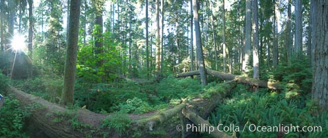 Cathedral Grove panorama, showing tall old-growth Douglas Fir trees. Cathedral Grove is home to huge, ancient, old-growth Douglas fir trees.  About 300 years ago a fire killed most of the trees in this grove, but a small number of trees survived and were the originators of what is now Cathedral Grove.  Western redcedar trees grow in adundance in the understory below the taller Douglas fir trees, Pseudotsuga menziesii, MacMillan Provincial Park, Vancouver Island, British Columbia, Canada