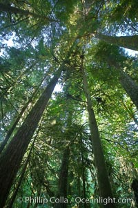 Ancient Douglas fir trees in Cathedral Grove.  Cathedral Grove is home to huge, ancient, old-growth Douglas fir trees.  About 300 years ago a fire killed most of the trees in this grove, but a small number of trees survived and were the originators of what is now Cathedral Grove.  Western redcedar trees grow in adundance in the understory below the taller Douglas fir trees, Pseudotsuga menziesii, MacMillan Provincial Park, Vancouver Island, British Columbia, Canada