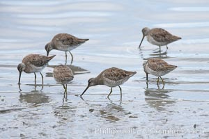 Dowitchers foraging on mud flats, Limnodromus, Upper Newport Bay Ecological Reserve, Newport Beach, California