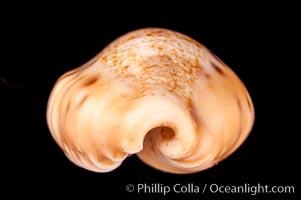 Dragon Caurica Cowrie, Cypraea caurica dracaena corrosa, natural history stock photograph, photo id 08000