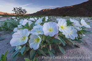 Dune Evening Primrose bloom in Anza Borrego Desert State Park, during the 2017 Superbloom. Anza-Borrego Desert State Park, Borrego Springs, California, USA, natural history stock photograph, photo id 33126
