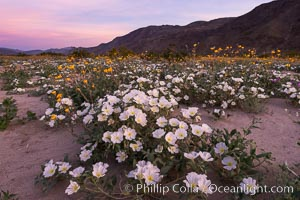 Dune Evening Primrose bloom in Anza Borrego Desert State Park, during the 2017 Superbloom. Anza-Borrego Desert State Park, Borrego Springs, California, USA, natural history stock photograph, photo id 33171