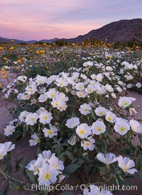 Dune Evening Primrose bloom in Anza Borrego Desert State Park, during the 2017 Superbloom. Anza-Borrego Desert State Park, Borrego Springs, California, USA, natural history stock photograph, photo id 33172