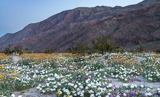 Dune Evening Primrose bloom in Anza Borrego Desert State Park, during the 2017 Superbloom, Anza-Borrego Desert State Park, Borrego Springs, California