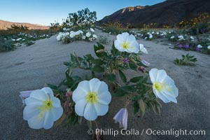 Dune Evening Primrose bloom in Anza Borrego Desert State Park, during the 2017 Superbloom. Anza-Borrego Desert State Park, Borrego Springs, California, USA, natural history stock photograph, photo id 33218