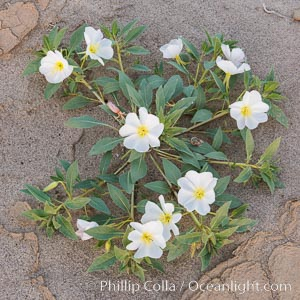 Dune Evening Primrose Wildflowers, Anza-Borrego Desert State Park. Anza-Borrego Desert State Park, Borrego Springs, California, USA, Oenothera deltoides, natural history stock photograph, photo id 30530