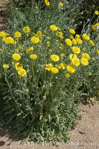 Dune marigold (wooly marigold), a desert annual common in the Colorado Desert, Baileya pleniradiata, Joshua Tree National Park, California