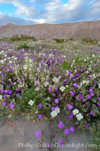 Dune primrose (white) and sand verbena (purple) bloom in spring in Anza Borrego Desert State Park, mixing in a rich display of desert color.  Anza Borrego Desert State Park, Abronia villosa, Anza-Borrego Desert State Park, Borrego Springs, California