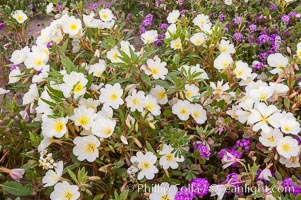 Dune primrose blooms in spring following winter rains.  Dune primrose is a common ephemeral wildflower on the Colorado Desert, growing on dunes.  Its blooms open in the evening and last through midmorning.  Anza Borrego Desert State Park. Anza-Borrego Desert State Park, Borrego Springs, California, USA, Oenothera deltoides, natural history stock photograph, photo id 10479