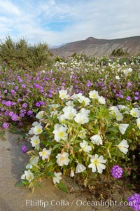 Dune primrose (white) and sand verbena (purple) bloom in spring in Anza Borrego Desert State Park, mixing in a rich display of desert color.  Anza Borrego Desert State Park, Oenothera deltoides, Abronia villosa, Anza-Borrego Desert State Park, Borrego Springs, California
