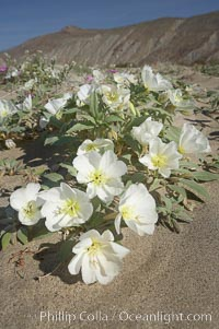 Dune primrose blooms in spring following winter rains.  Dune primrose is a common ephemeral wildflower on the Colorado Desert, growing on dunes.  Its blooms open in the evening and last through midmorning.  Anza Borrego Desert State Park. Anza-Borrego Desert State Park, Borrego Springs, California, USA, Oenothera deltoides, natural history stock photograph, photo id 20467