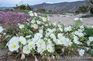 Dune primrose blooms in spring following winter rains.  Dune primrose is a common ephemeral wildflower on the Colorado Desert, growing on dunes.  Its blooms open in the evening and last through midmorning.  Anza Borrego Desert State Park, Oenothera deltoides, Anza-Borrego Desert State Park