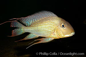 Earth-eating cichlid, native to South American rivers, Geophagus altifrons
