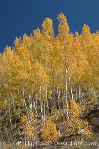 Aspen trees turn yellow and orange in early October, South Fork of Bishop Creek Canyon, Populus tremuloides, Bishop Creek Canyon, Sierra Nevada Mountains