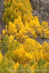 Aspen trees turn yellow and orange in early October, South Fork of Bishop Creek Canyon. Bishop Creek Canyon, Sierra Nevada Mountains, Bishop, California, USA, Populus tremuloides, natural history stock photograph, photo id 17561