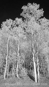 Aspen trees in fall, eastern Sierra fall colors, autumn, Populus tremuloides, Bishop Creek Canyon, Sierra Nevada Mountains