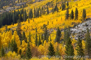 Aspen trees turn yellow and orange in early October, South Fork of Bishop Creek Canyon. Bishop Creek Canyon, Sierra Nevada Mountains, Bishop, California, USA, Populus tremuloides, natural history stock photograph, photo id 17532