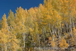 Aspen trees turn yellow and orange in early October, South Fork of Bishop Creek Canyon. Bishop Creek Canyon, Sierra Nevada Mountains, Bishop, California, USA, Populus tremuloides, natural history stock photograph, photo id 17550