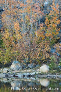 Aspen trees in autumn, fall colors, eastern Sierra Nevada. Bishop Creek Canyon Sierra Nevada Mountains, Bishop, California, USA, Populus tremuloides, natural history stock photograph, photo id 26080