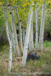 Aspen trees in autumn, fall colors, eastern Sierra Nevada, Populus tremuloides, Bishop Creek Canyon Sierra Nevada Mountains