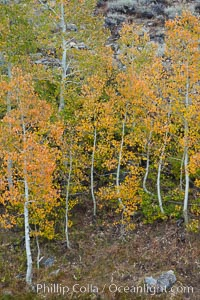 Aspen trees in autumn, fall colors, eastern Sierra Nevada. Bishop Creek Canyon Sierra Nevada Mountains, Bishop, California, USA, Populus tremuloides, natural history stock photograph, photo id 26083