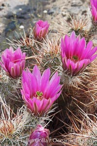 Springtime bloom of the hedgehog cactus (or calico cactus), Echinocereus engelmannii, Joshua Tree National Park, California