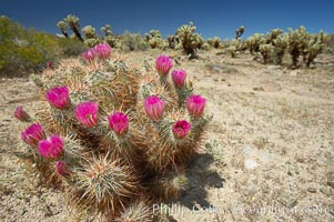 Hedgehog cactus blooms in spring, Echinocereus engelmannii, Joshua Tree National Park, California