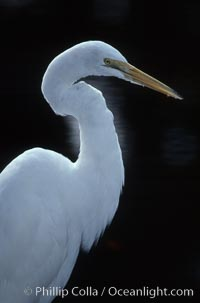 Egret. Homosassa River, Homosassa, Florida, USA, natural history stock photograph, photo id 05838