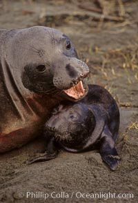 Northern elephant seal, cow/pup, Mirounga angustirostris, Piedras Blancas, San Simeon, California