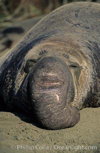 Northern elephant seal, mature bull, Mirounga angustirostris, Piedras Blancas, San Simeon, California